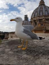 Vatican Pigeon